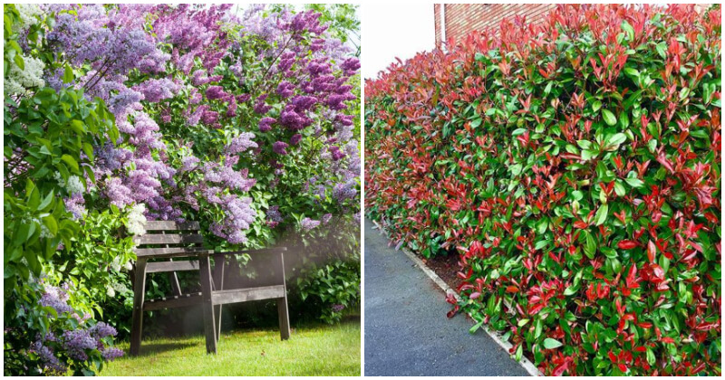 30 Fast Growing Shrubs And Bushes For Creating Fence And Privacy