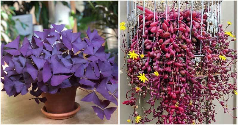 16 Beautiful Purple Indoor Plants To Jazz Up Your Living Space