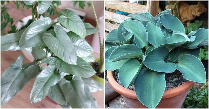 17 Stunning Blue Foliage Houseplants To Liven Up Your Living Space