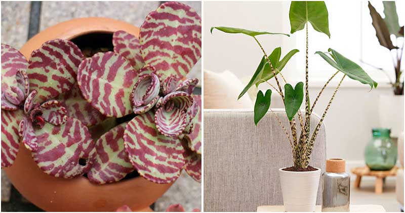 11 Beautiful Houseplants With Shaped-Tiger Pattern Leaves