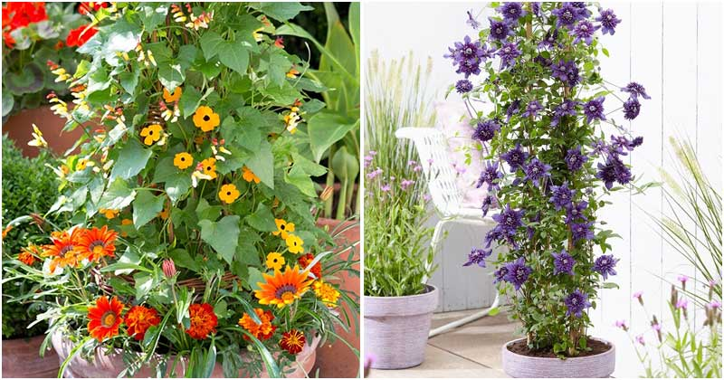 22 Best Vine Plant To Grow In Containers