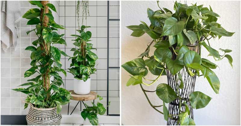 10 Awesome Pothos Houseplant Benefits